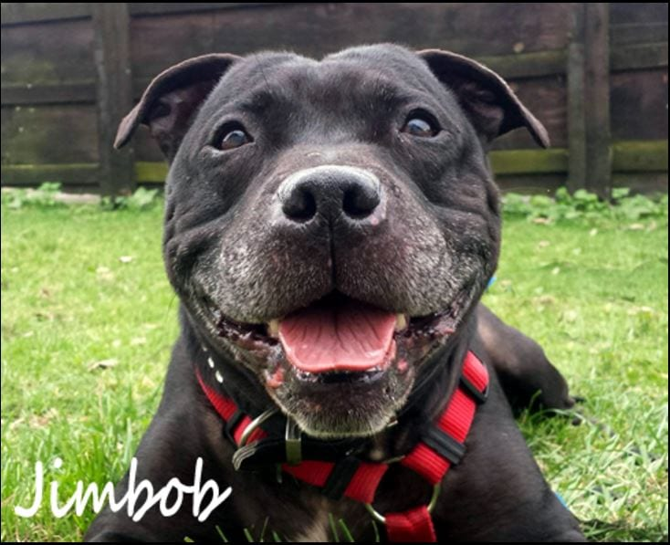 Jimbob, Staffordshire Bull Terrier who needs rehoming, at Homeless Hounds