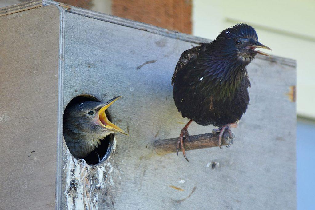 Nesting starlings - in a parrot box! Big garden birdwatch
