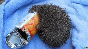Hedgehog stuck in a tin can