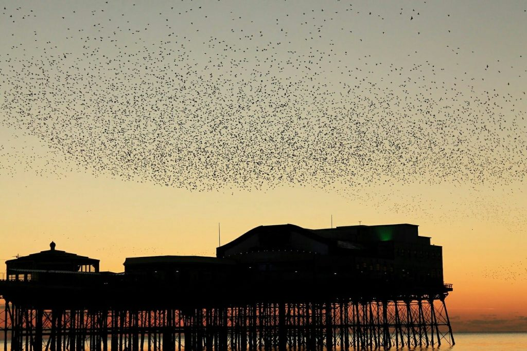 Starlings at Blackpool North Pier. Photo: Glenys Watson